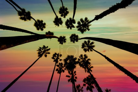 Photo for California Palm trees view from below in Santa Barbara US - Royalty Free Image