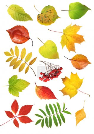 Photo for Collection autumn leaves isolated on white background - Royalty Free Image