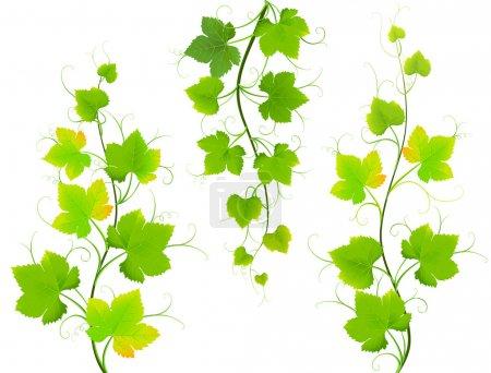Illustration pour Collection de feuilles de raisin sur fond blanc. Illustration vectorielle - image libre de droit