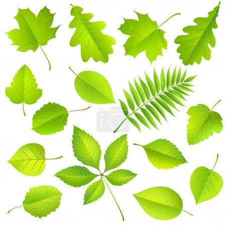 Illustration for Collection of green leaves isolated on white. Vector illustration - Royalty Free Image