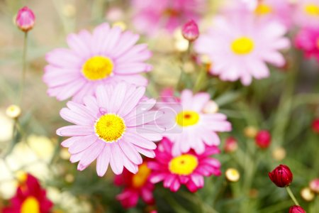 Photo for Bunch of spring flowers (daisy) in the colorful meadow. - Royalty Free Image