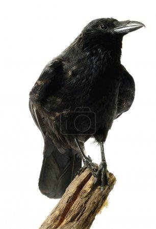 Photo pour Image studio d'un Corbeau charognard (Corvus corone) juvénile perché sur une souche de bois sur un fond blanc. Espace de copie . - image libre de droit
