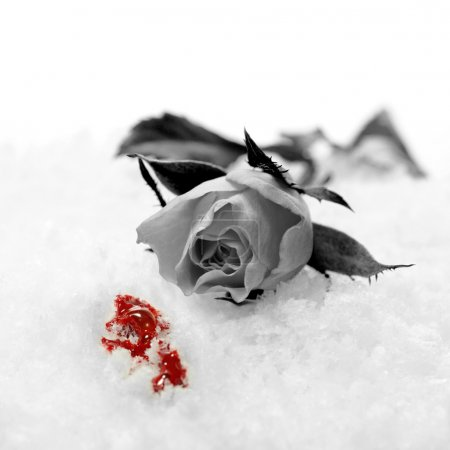 Photo for A studio created concept depicting a broken heart. A greyscale red rose lying in the snow with spilled red blood. Copy space. - Royalty Free Image