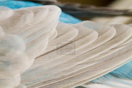 common pet parakeet wings