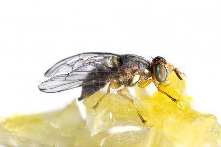fly feeding from honey