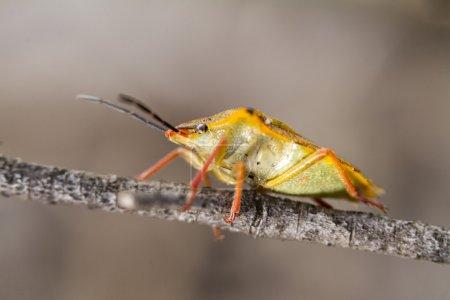 Stink Bug (Carpocoris fuscispinus)