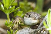 Velké psammodromus (psammodromus algirus) ještěrka