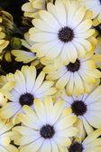 Osteospermum white flowers
