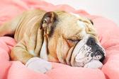Smutný Estrelský pastevecký pes položenou na posteli