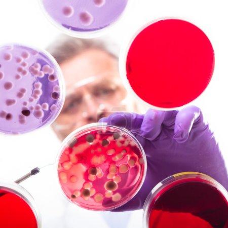 Photo pour Concentré des sciences de la vie professionnelle greffage bactéries dans les plats pettri. focus de la lentille sur la gélose. - image libre de droit