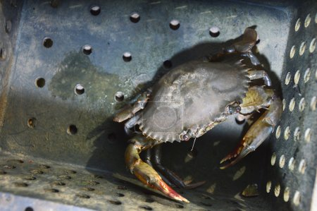 Soft-shelled crab fishing