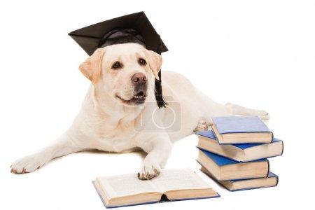 Labrador Retriever mit Hut des Junggesellen liest Bücher auf isoliertem Weiß
