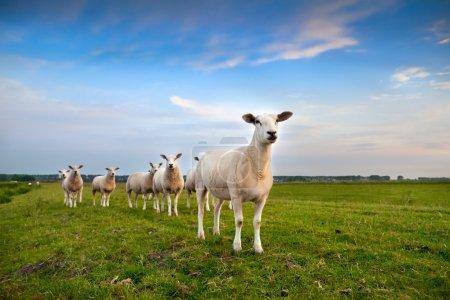 Photo pour Troupeau de moutons sur pâturage sur ciel bleu - image libre de droit