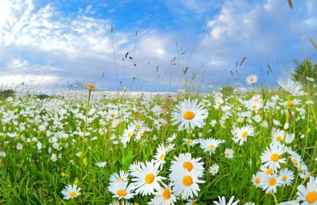 Many chamomile flowers over blue sky
