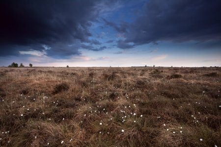 Clouded sky over marsh with cotton-grass