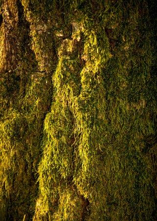 Photo pour Photo de gros plan des mousses qui poussent sur les arbres de la forêt - image libre de droit