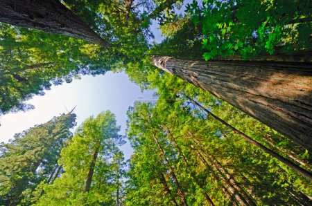 Looking up in a Redwood Forest