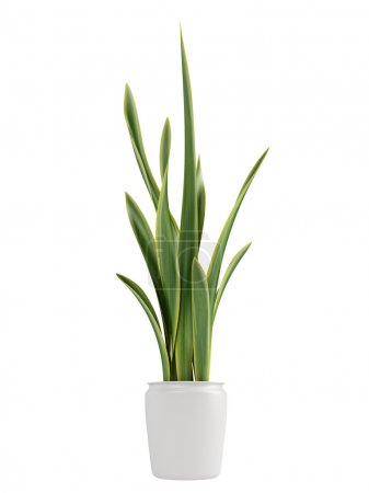 Photo for Sansevieria, the snake plant, growing in a pot as a decorative houseplant where it forms dense clusters isolated on white - Royalty Free Image