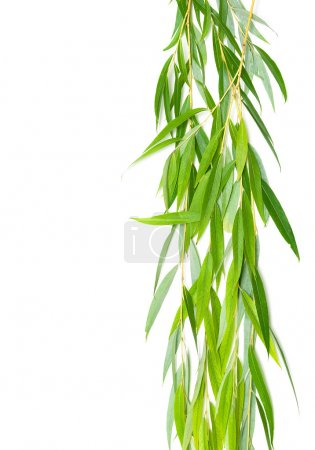willow branches isolated on white background