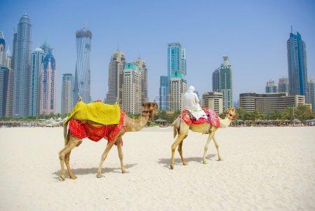Photo pour Dubai Camel on the town scape backround, Émirats arabes unis - image libre de droit