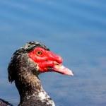 Muscovy duck...