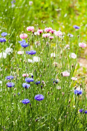Photo for Beautiful flower meadow - Royalty Free Image