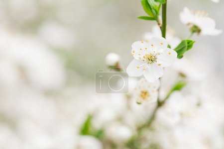 Early blossom of cherry