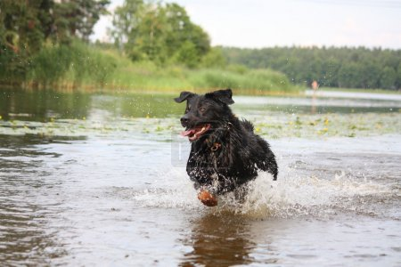 Happy swiss mountain dog crossbreed running in the water