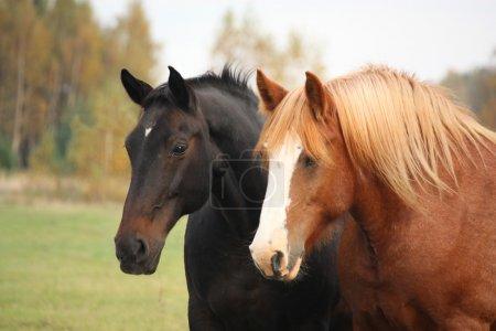 Two beautiful horses portrait in autumn
