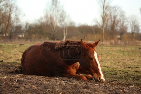 Chestnut horse rolling on the ground