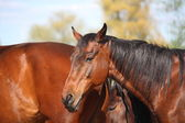 Staré hnědé koně portrét