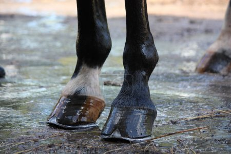 Close up of shiny horse hoofs after shower