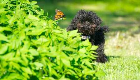 Toy poodle puppy and butterfly.