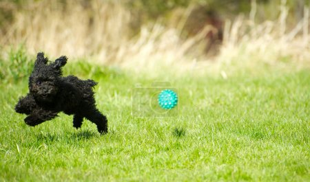 Toy poodle puppy chasing ball.