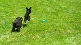 Toy poodle and miniature poodle chasing ball.