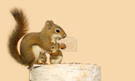 Photo pour Une mère écureuil et ses deux bébés mangeant des graines de tournesol sur une bûche de bouleau au printemps avec espace de copie. Partie d'une série . - image libre de droit