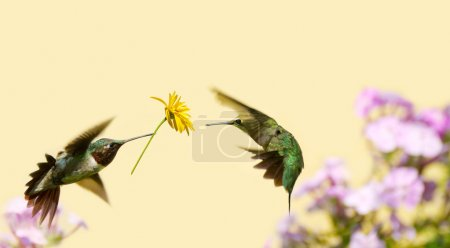 Photo for A male ruby throated hummingbird surprising a pretty female with a gift of a flower. - Royalty Free Image