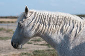 Fehér ló profil és a sós-mocsár
