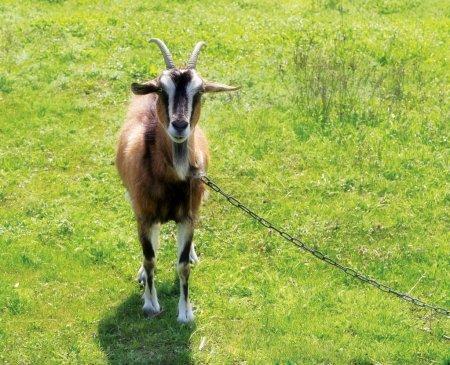 Goat grazing...