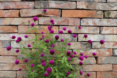 Globe Amaranth or Gomphrena globosa and brick wall...
