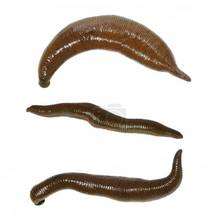 Collection medical leech isolated on white