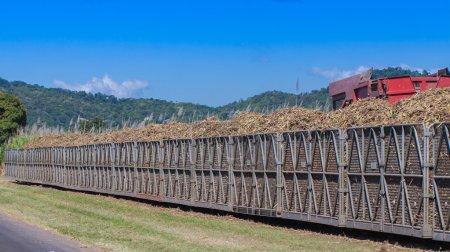 Ciągnik załadunku cukru trzcinowego na pociąg bin