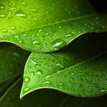 Photo pour Feuille verte avec gouttes d'eau pour fond - image libre de droit