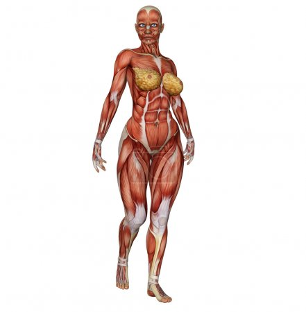 Female body's muscle structure in body builder pose