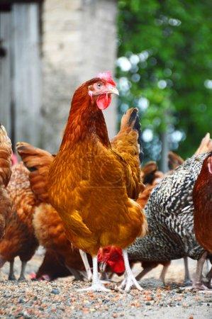Foto de Pollos en granja de aves de corral tradicional. - Imagen libre de derechos