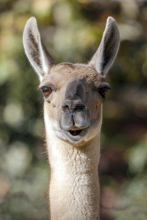 Foto de Llama, camélido sudamericano, que vive en las altas zonas alpinas de los Andes - Imagen libre de derechos