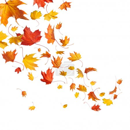 Autumn falling leaves isolated on white background...