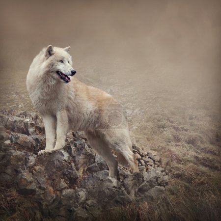 Foto de White wolf at the night - Imagen libre de derechos