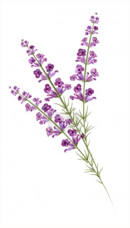 Illustration for Lavender. Watercolor drawing. Vector - Royalty Free Image