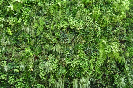 Photo for Natural background from climbing plants. - Royalty Free Image
